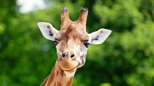 Aquarius man animal giraffe