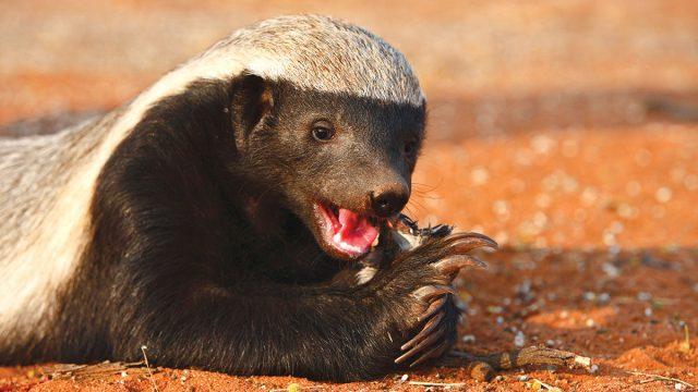 Aquarius man animal honey badger