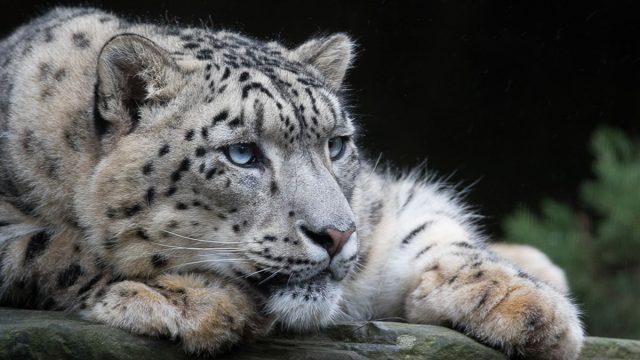 Aquarius man animal snow leopard