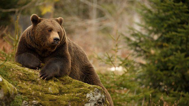 Cancer woman animal bear