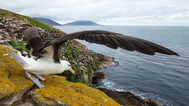Capricorn man animal albatross