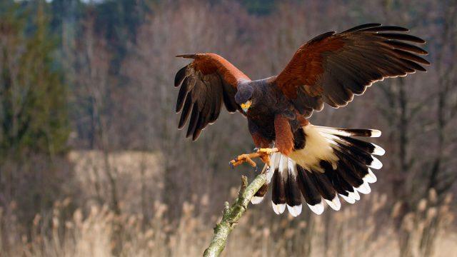 Capricorn man animal hawk