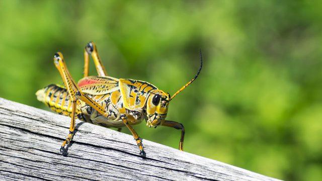 Gemini woman animal cricket