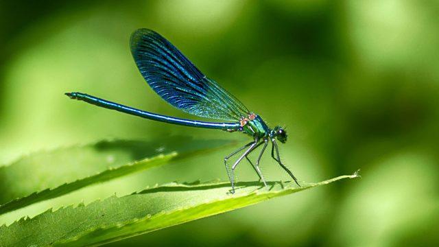 Gemini woman animal dragonfly