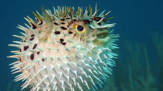 Gemini woman animal pufferfish
