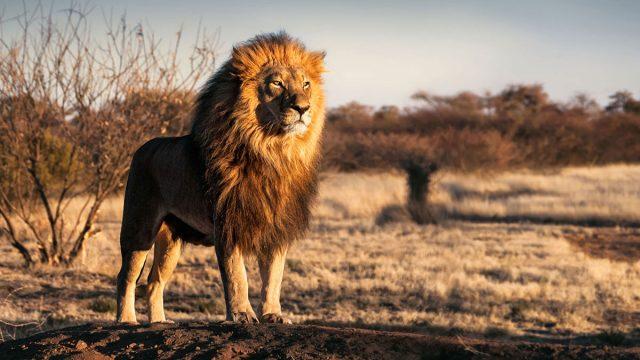 Leo man animal lion