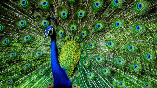 Leo man animal peacock